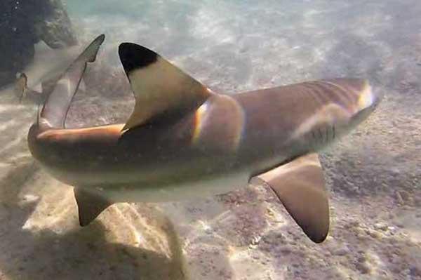 Black Tip Reef Shark Koh Tao