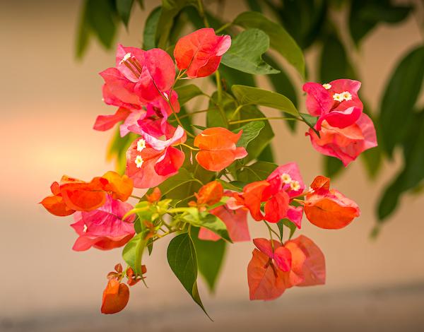 Flowers on Koh Tao