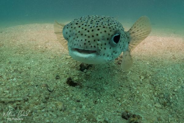 Puffer Fish Koh Tao