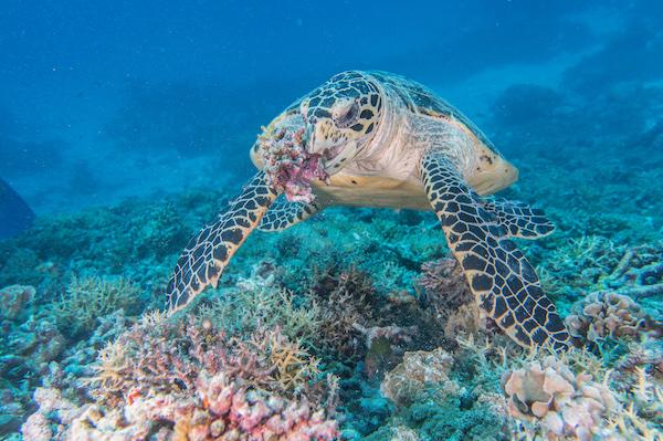 Turtle Koh Tao