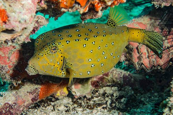 Yellow Boxfish Koh Tao
