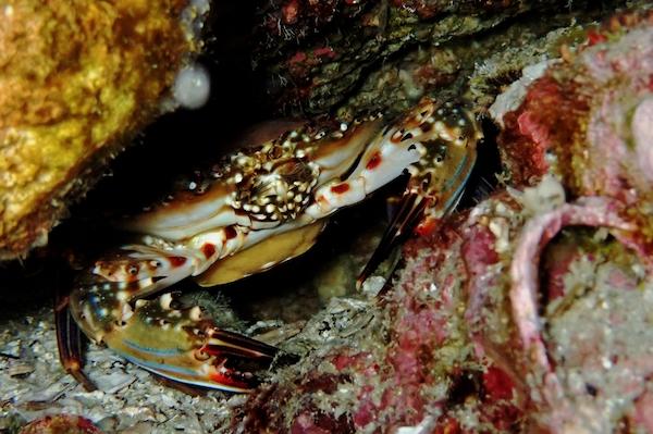 Crab Koh Tao