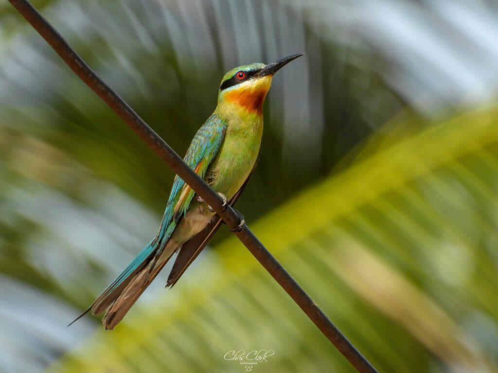Wild Birds of Koh Tao Thailand
